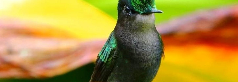 Colibri huppé (Orthorhyncus cristatus)